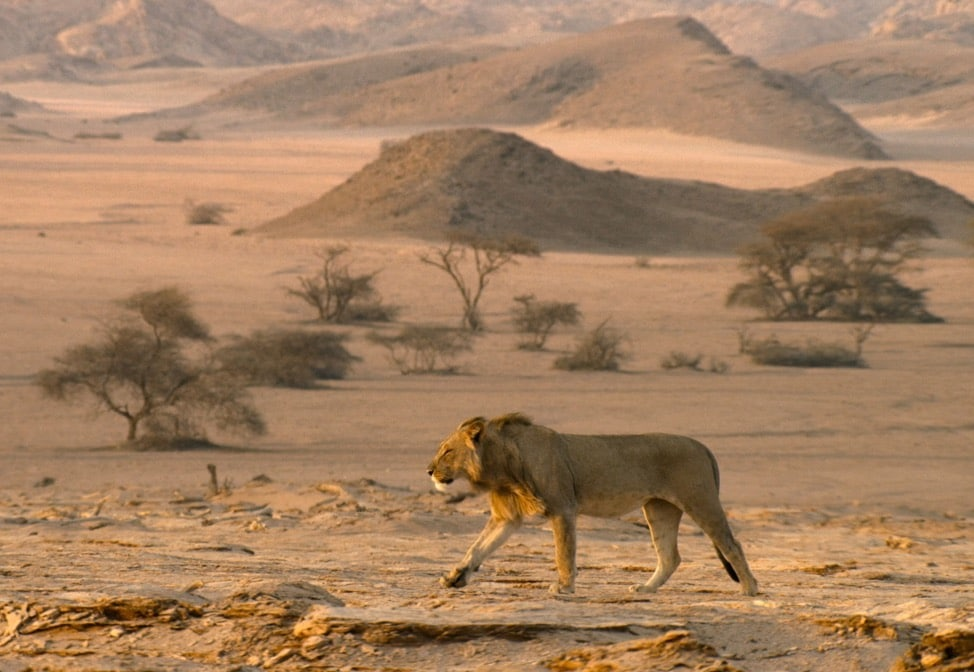 A male lion wanders through a desert in Namibia.