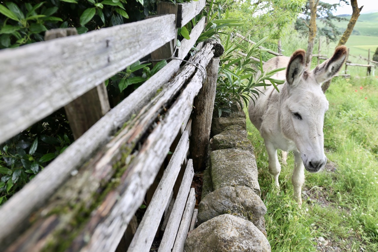 Agriturismo Volterra Fattoria Lischeto has a friendly pet donkey.