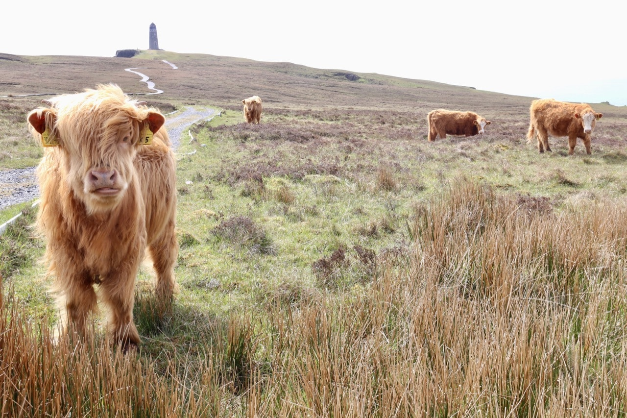 Things To Do In Skye: Play with Scotland's playful mascot, the Highland Hairy Coo.