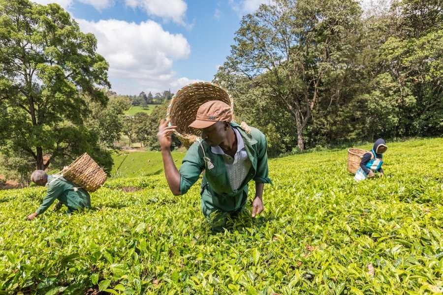 Best Places to Visit in Nairobi: Enjoy a day trip to Kiambethu Tea Farm.
