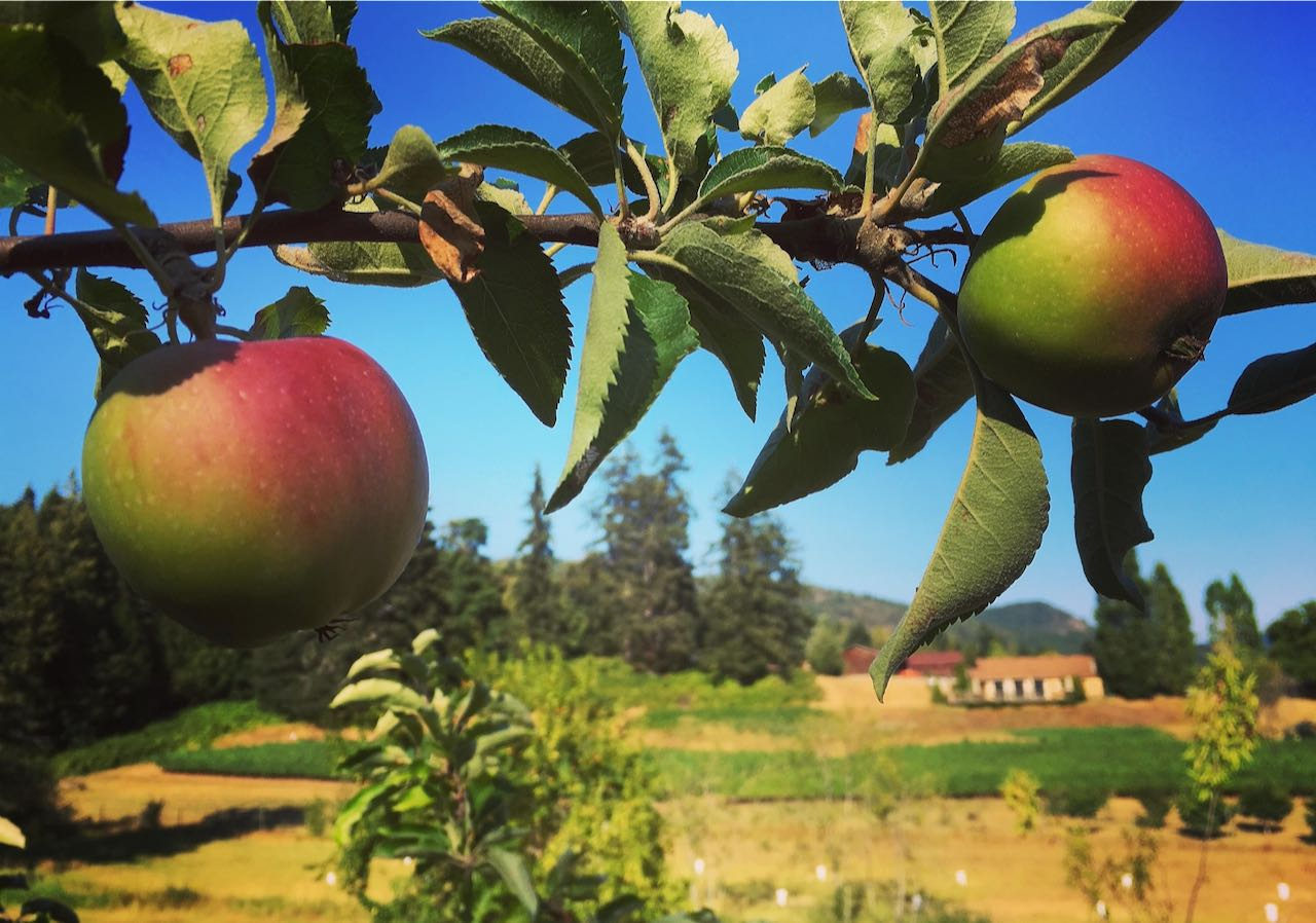 Heritage apples grow at Valley Cider Co.