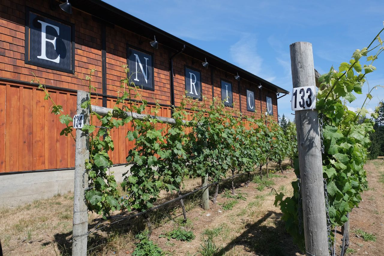 Walk through the vineyards at Enrico Winery.