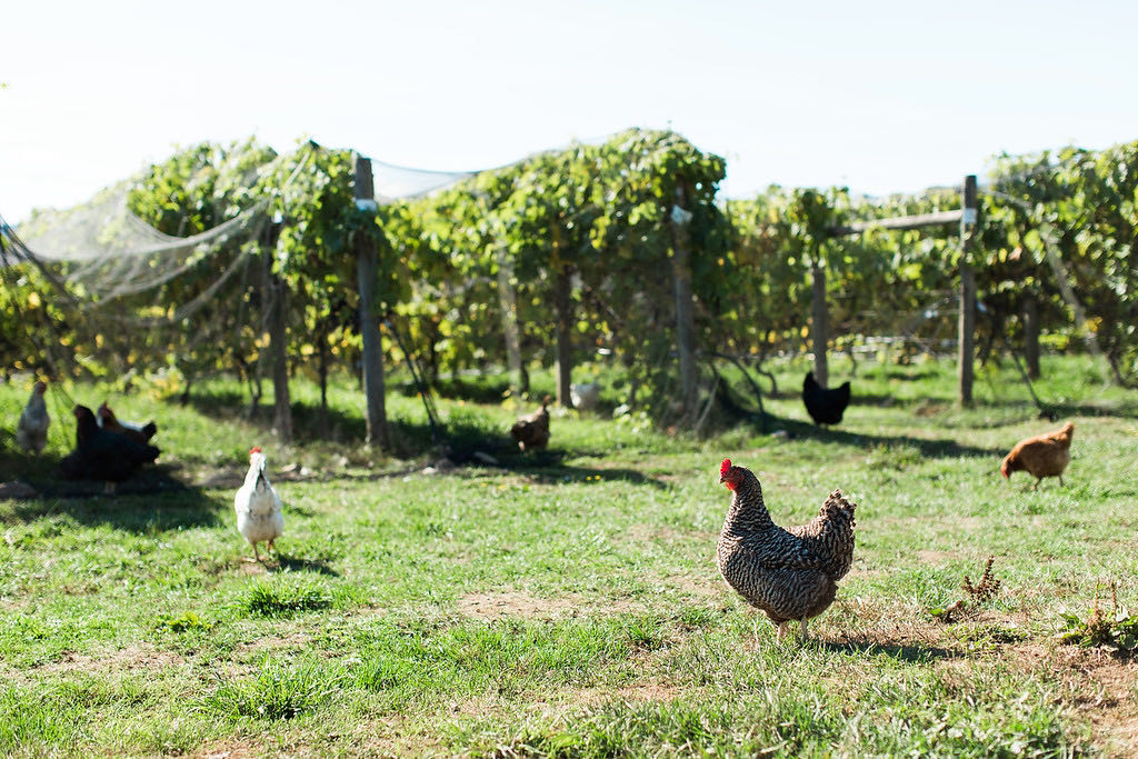 Enjoy lunch in the Saanich Peninsula at Roost Farm Winery.