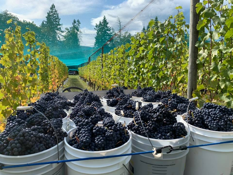 Wineries on Vancouver Island: Grape harvest time at Venturi-Schulze Vineyards.