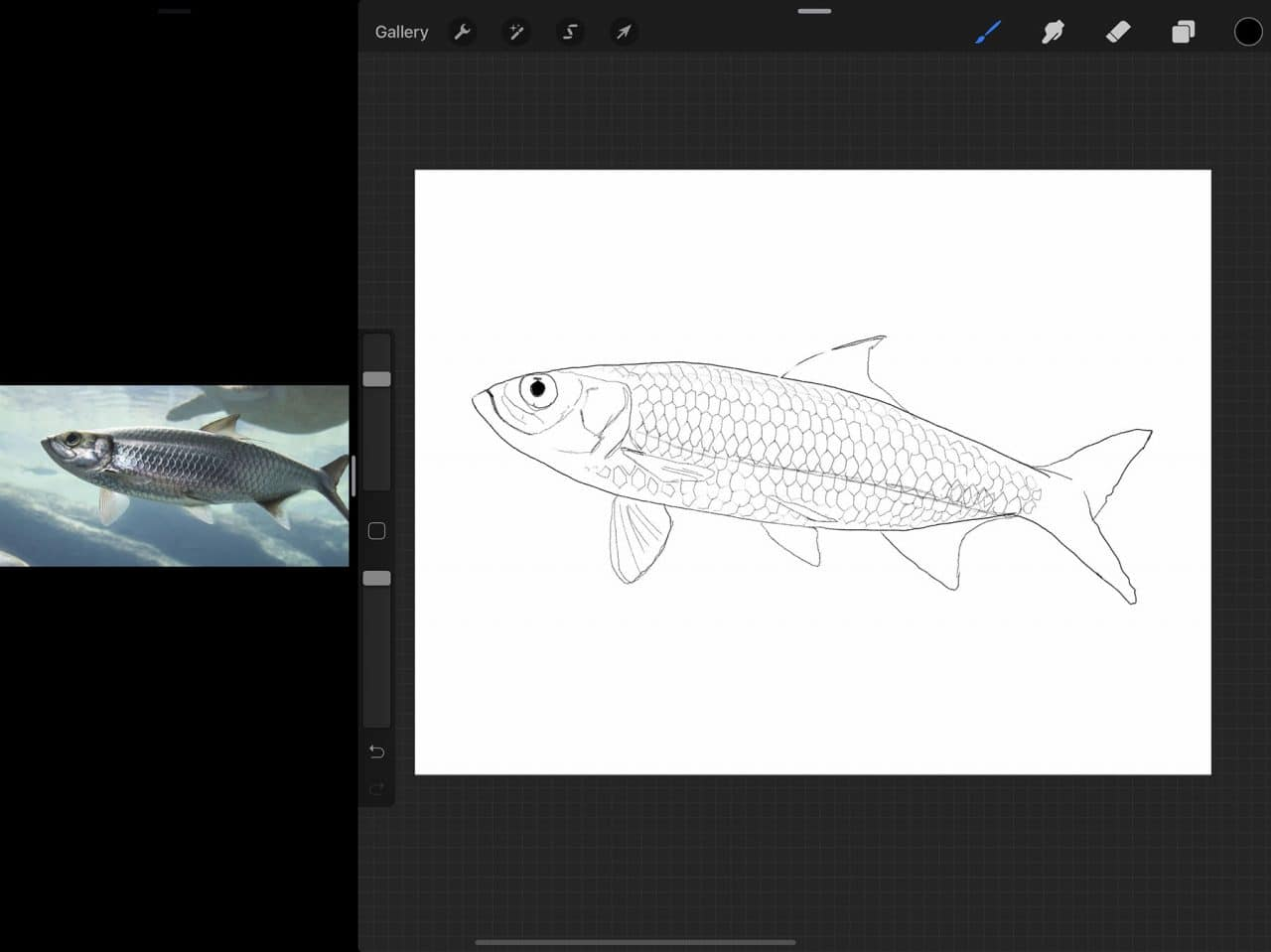 How to Draw A Fish: A rough sketch can be a great guide for your final coloured illustration